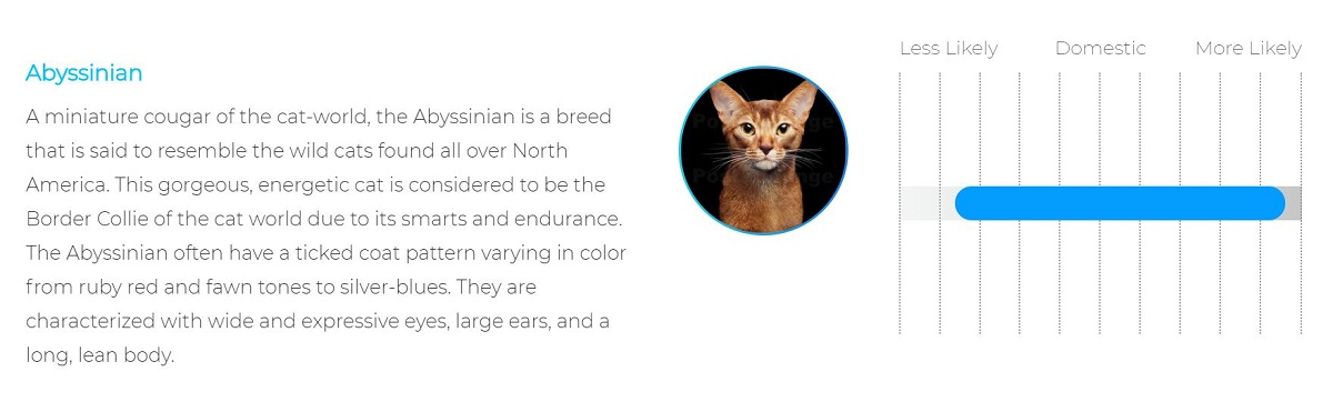 My cat's second DNA match: Abyssinian.