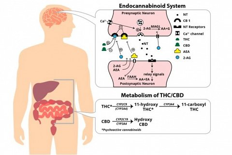 A diagram showing the endocannabinoid system and cannabinoid metabolism.