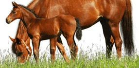 Equine DNA Parentage Test