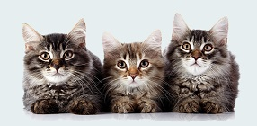 Feline PKD Disease Test