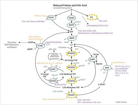 My personalised folate cycle diagram.