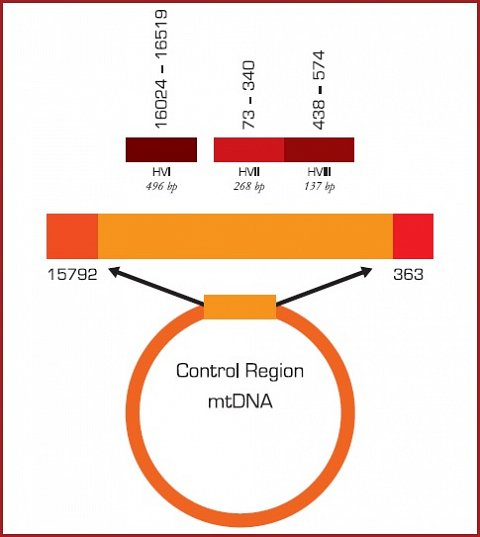 The different regions of mitochondrial DNA that are analysed for the report.