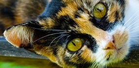 PKD DNA Testing for Cats