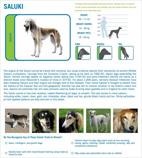 The Saluki breed profile.